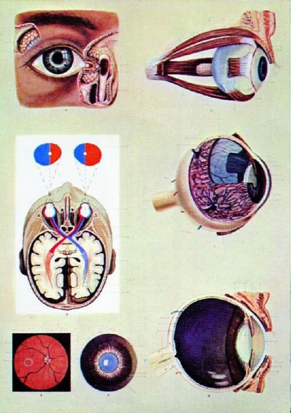Ochiul uman - fiziologia vederii 3