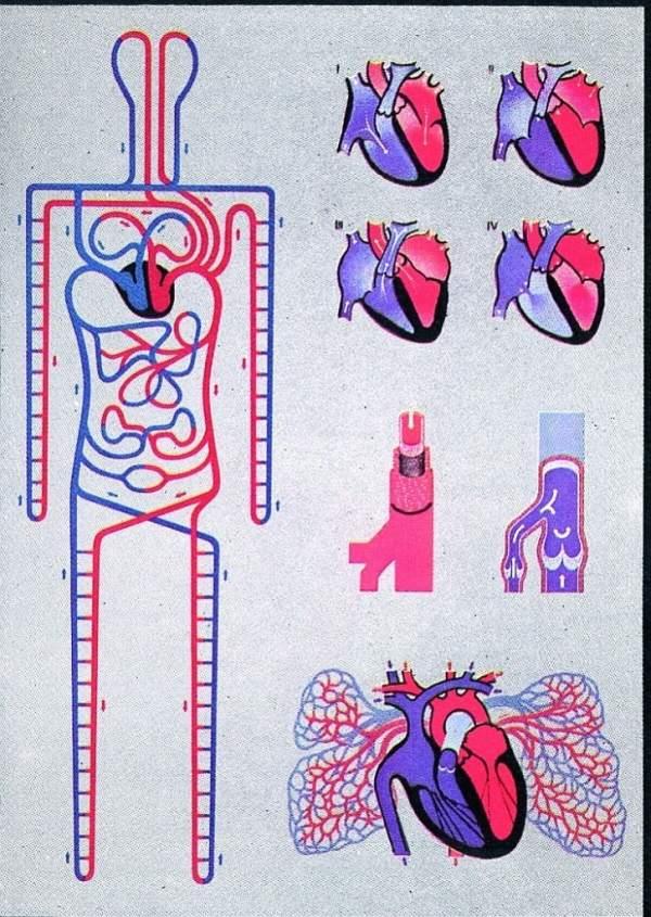 Circulatia sistemica si pulmonara 3