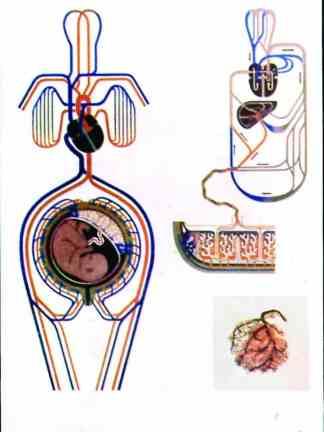 Circulatia materna si fetala în timpul sarcinii