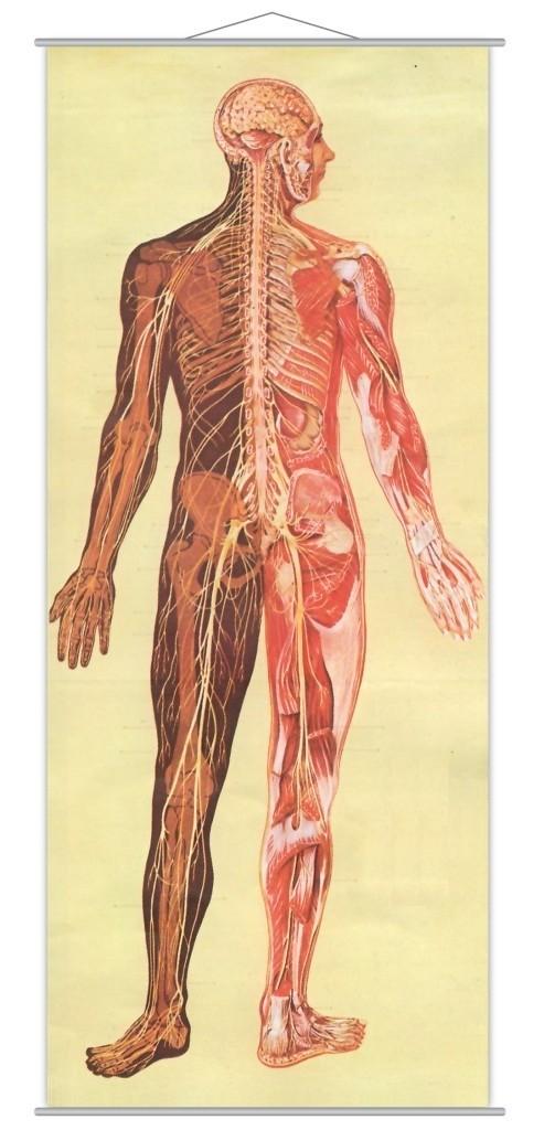Sistemul nervos 3