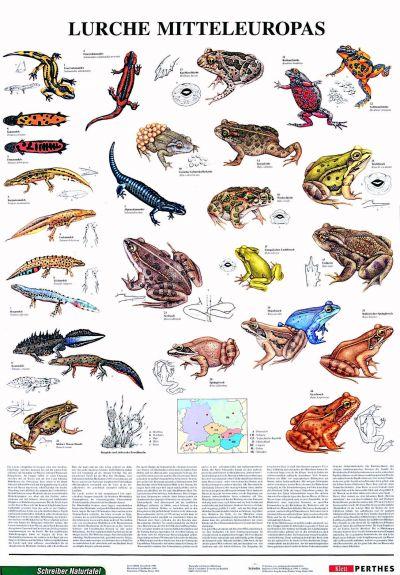Amfibienii Europei Centrale 3