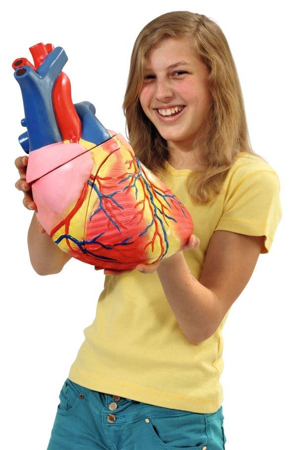 Inima umana - model Mare 3