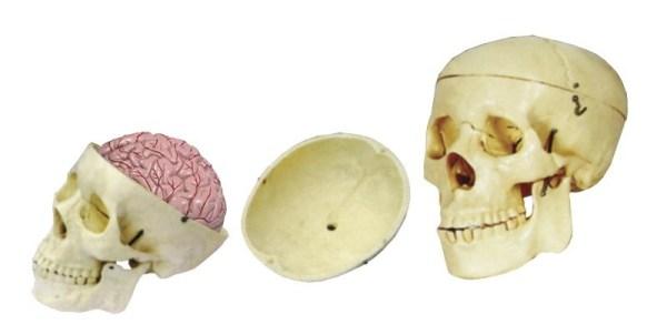 Craniu cu encefal 4
