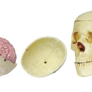 Craniu cu encefal 6