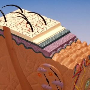 Structura pielii 9