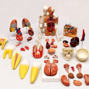 Set Modele Anatomie 7