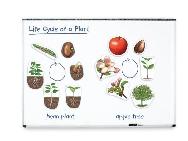 Ciclul vietii la plante 5