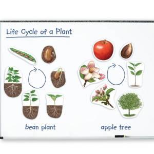 Ciclul vietii la plante 10
