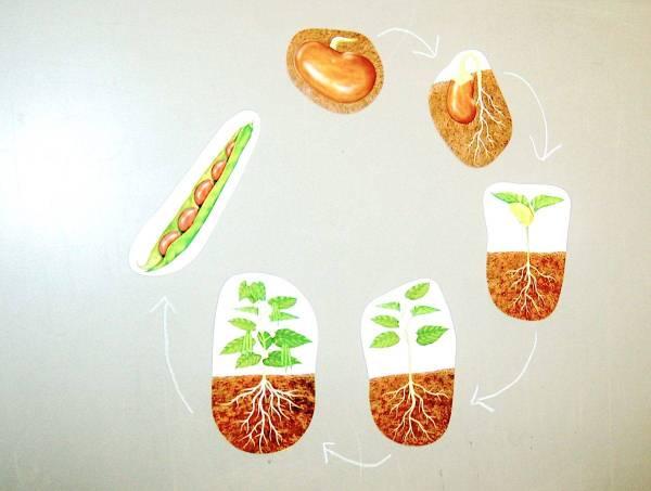 Ciclul vietii la plante 6