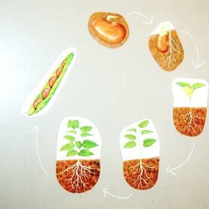 Ciclul vietii la plante 11