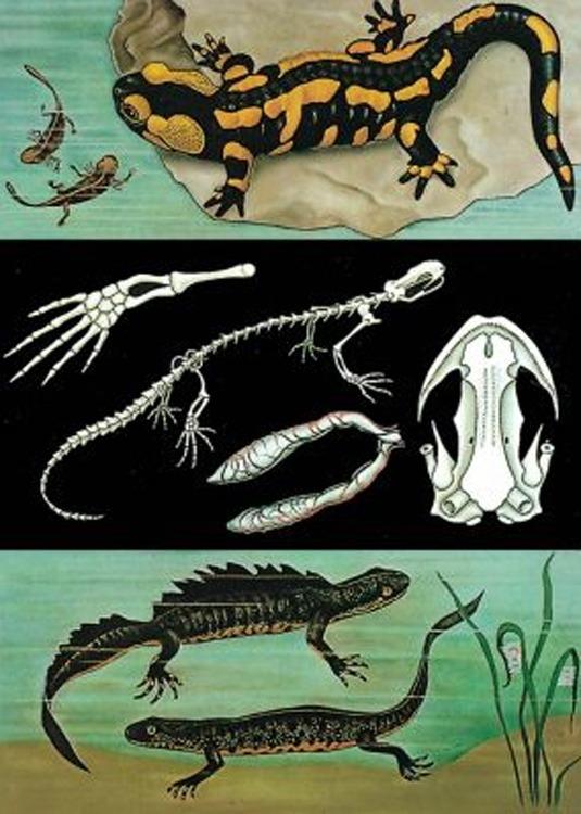 Iguana - Salamandra 3