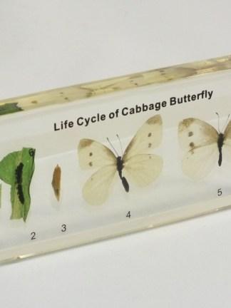 Ciclul de viata al Fluturilor de varza albi