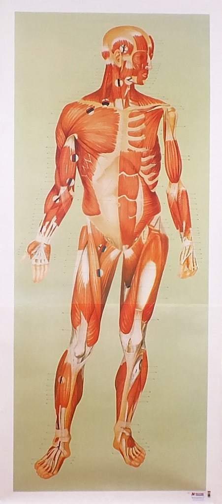 Sistemul muscular - fata 2