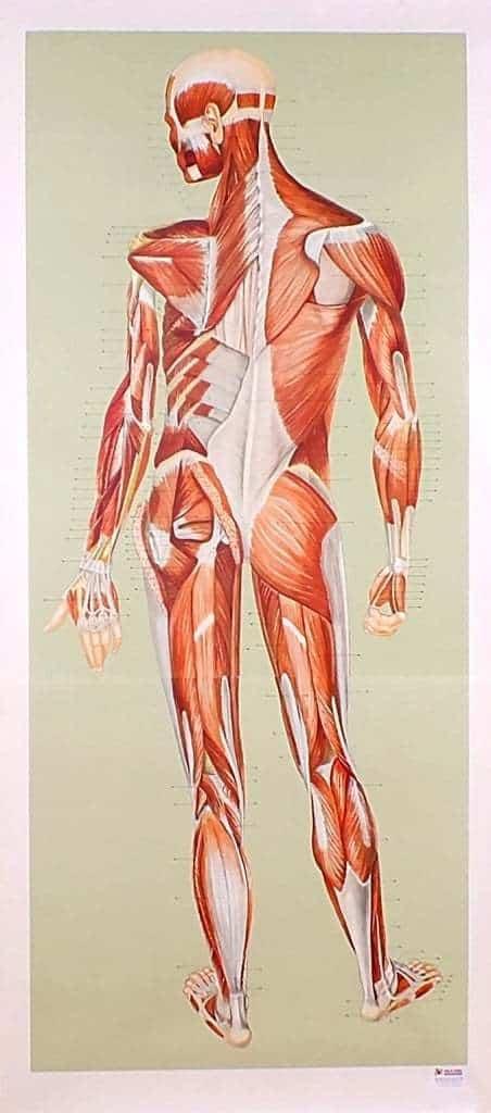 Sistemul muscular - spate 3
