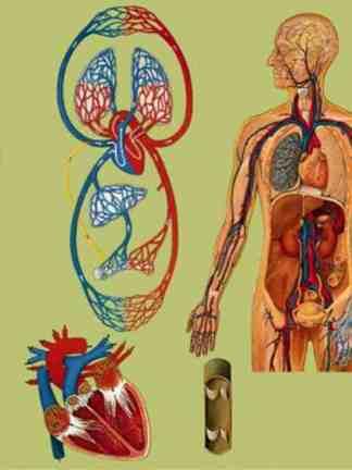 Sistemul circulator si respirator