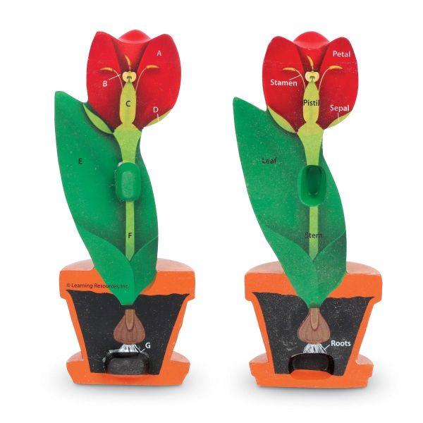 Model de sectiune a florii 4