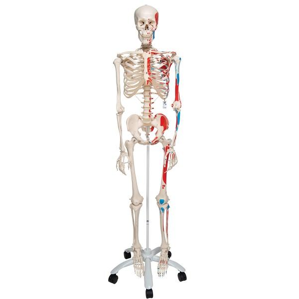Schelet uman cu vizualizare sistem muscular pe suport cu role 2