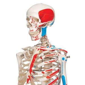 Schelet uman cu vizualizare sistem muscular pe suport cu role 16