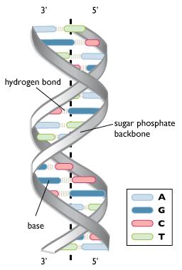 Jelaskan Struktur Double Helix Dna Menurut Watson Crick : jelaskan, struktur, double, helix, menurut, watson, crick, Struktur, Double, Helix, Komposisi, Sifatnya, MateriIPA.com