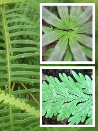 Sebutkan Ciri Ciri Tumbuhan Paku : sebutkan, tumbuhan, Contoh, Tumbuhan, Berpembuluh, Jenis-Jenisnya, MateriIPA.com