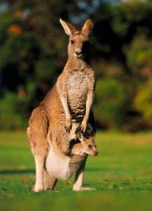 Ciri Ciri Fauna Australia : fauna, australia, Fauna, Australia, Contohnya, MateriIPA.com