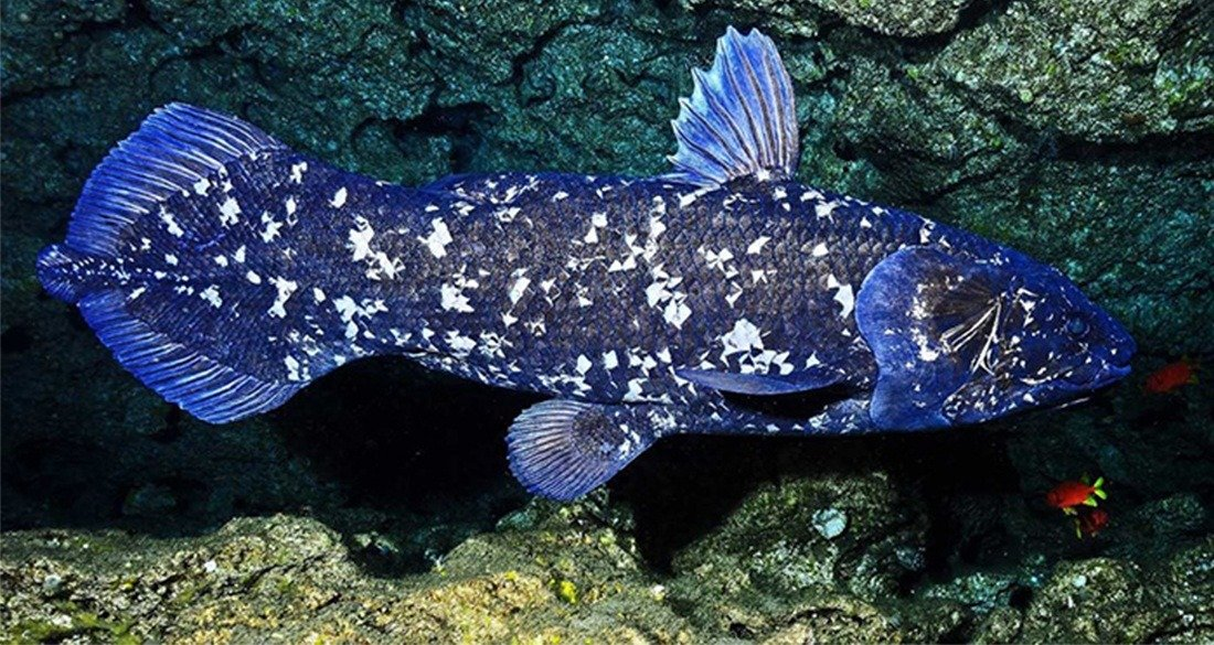 Kelimpahan dan distribusi biodiversitas dalam konteks lingkungan. Ikan-Coelacanth - MateriIPA.com