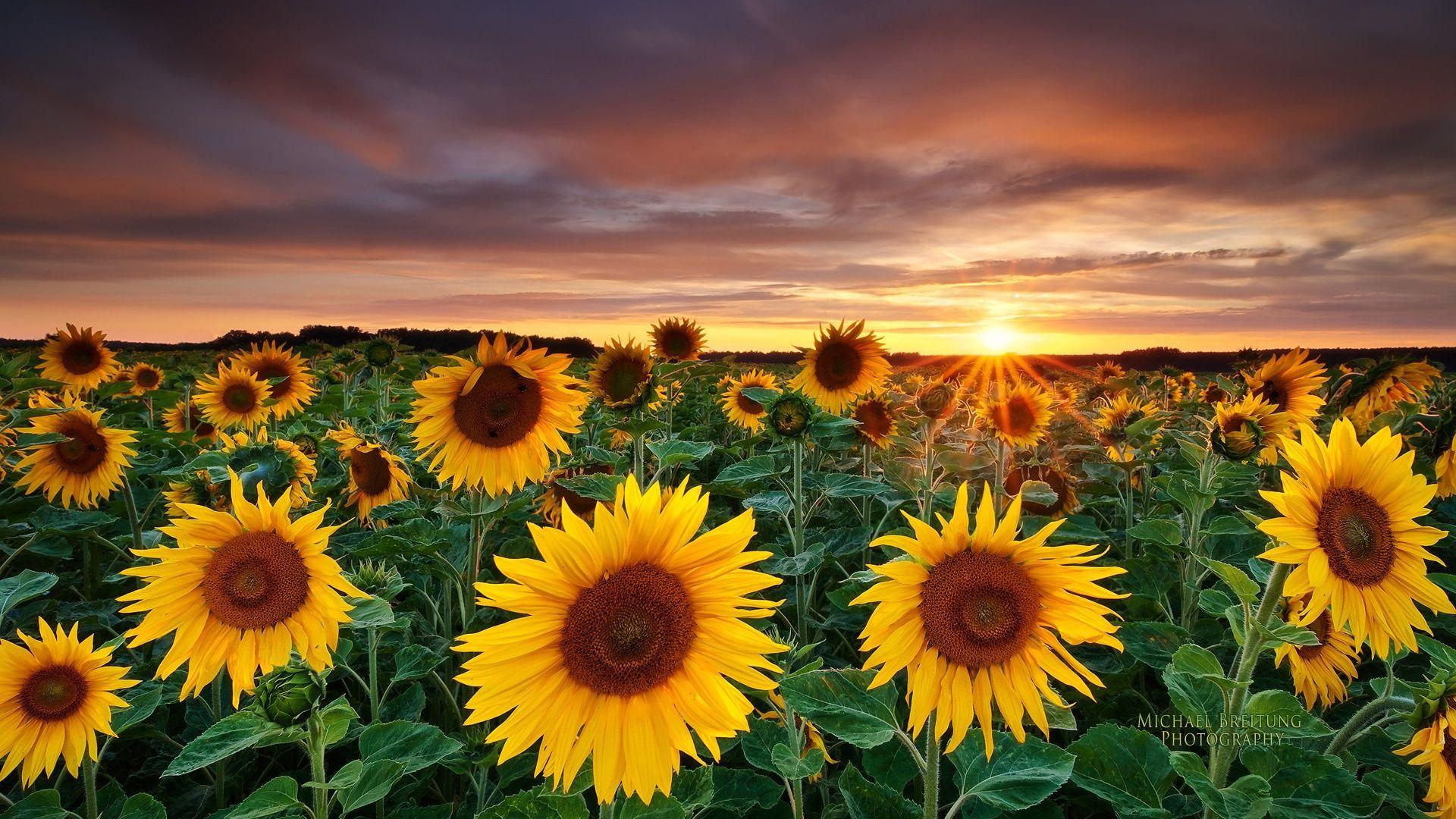 Gambar Bunga Matahari  Materi Kimia
