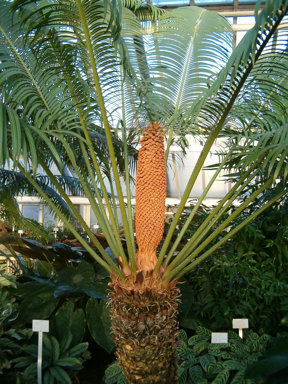 Tumbuhan Gymnospermae Dan Angiospermae : tumbuhan, gymnospermae, angiospermae, Contoh, Tumbuhan, Gymnospermae, Beserta, Latinnya, Materi, Kimia