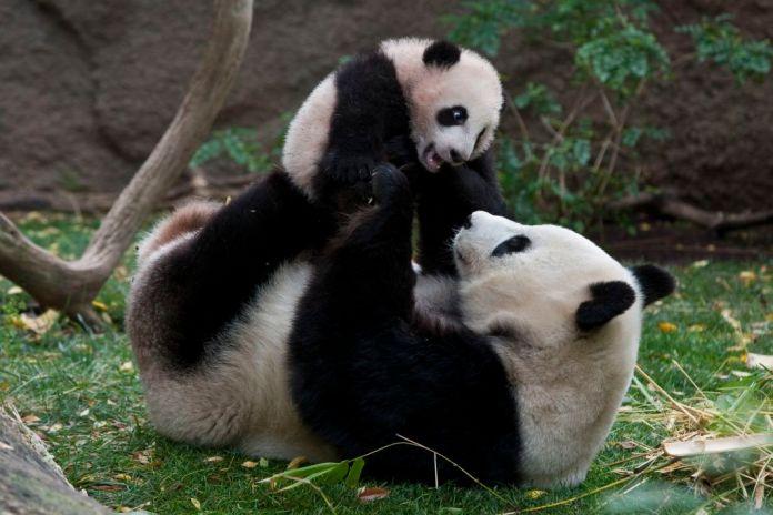 embarazo oso panda