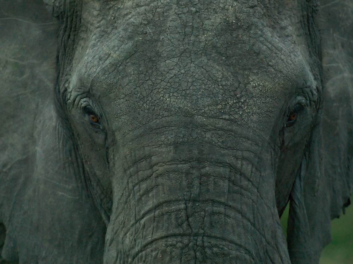 an Elephant stare into the camera in the Masai Mara, Kenya