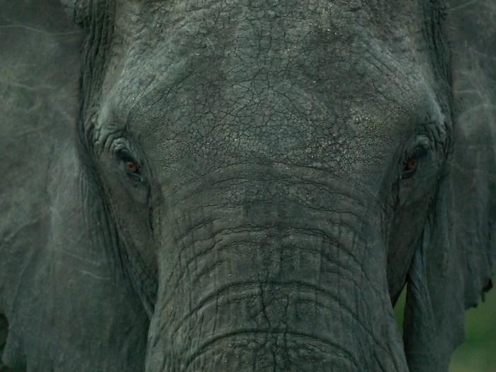 an Elephant stare into the camera in the Masai Mara, Kenya