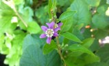 Goji-Blüte