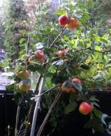 Babette's Balkon-Apfelbäumchen im September 2014-2
