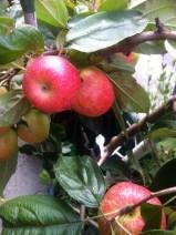 Babette's Balkon-Apfelbäumchen im September 2014-3