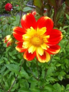Dahlienpracht in der Kölner Flora6