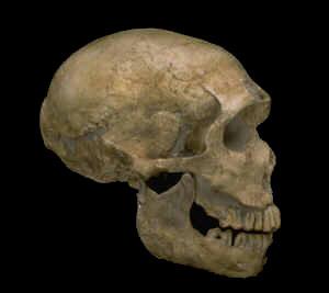 Neanderthal skulls  Mathildas Anthropology Blog