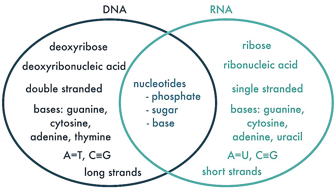 dna and rna venn diagram 97 honda accord wiring all categories - math & science warriors!