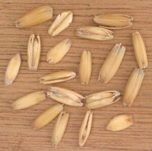 Figure 1: Oat Grains (Wikipedia).