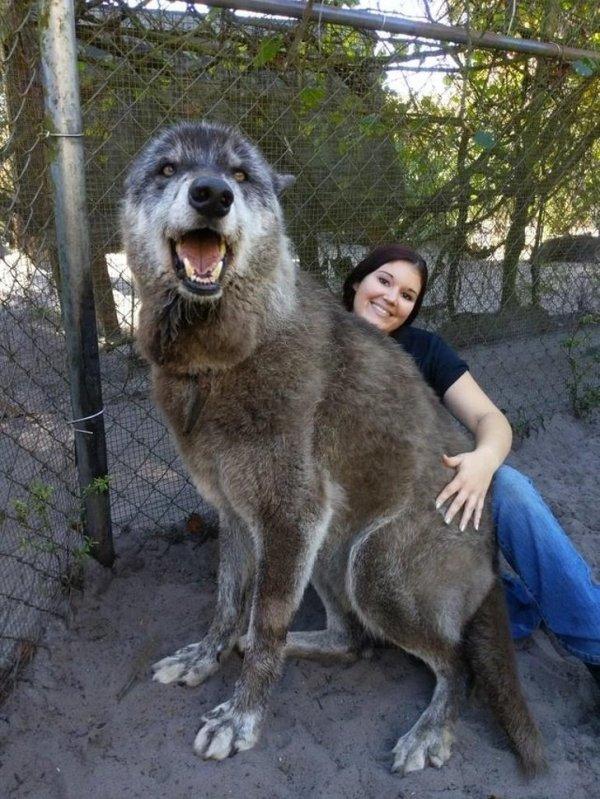 """""""cachorro lobo"""" é carinhoso"""