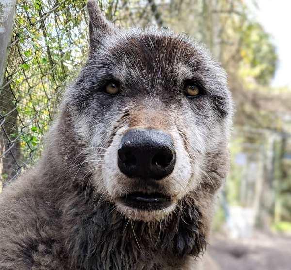 """Yuki, o famoso """"cachorro lobo"""" tem os olhos de quem sofreu por muito tempo."""