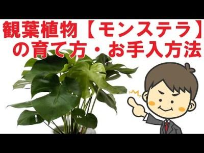 プロが解説!【観葉植物モンステラの育て方、枯れる原因とその対処法】