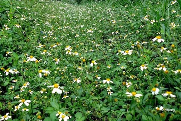Hoa cỏ Kim hay còn gọi là hoa Xuyến Chi