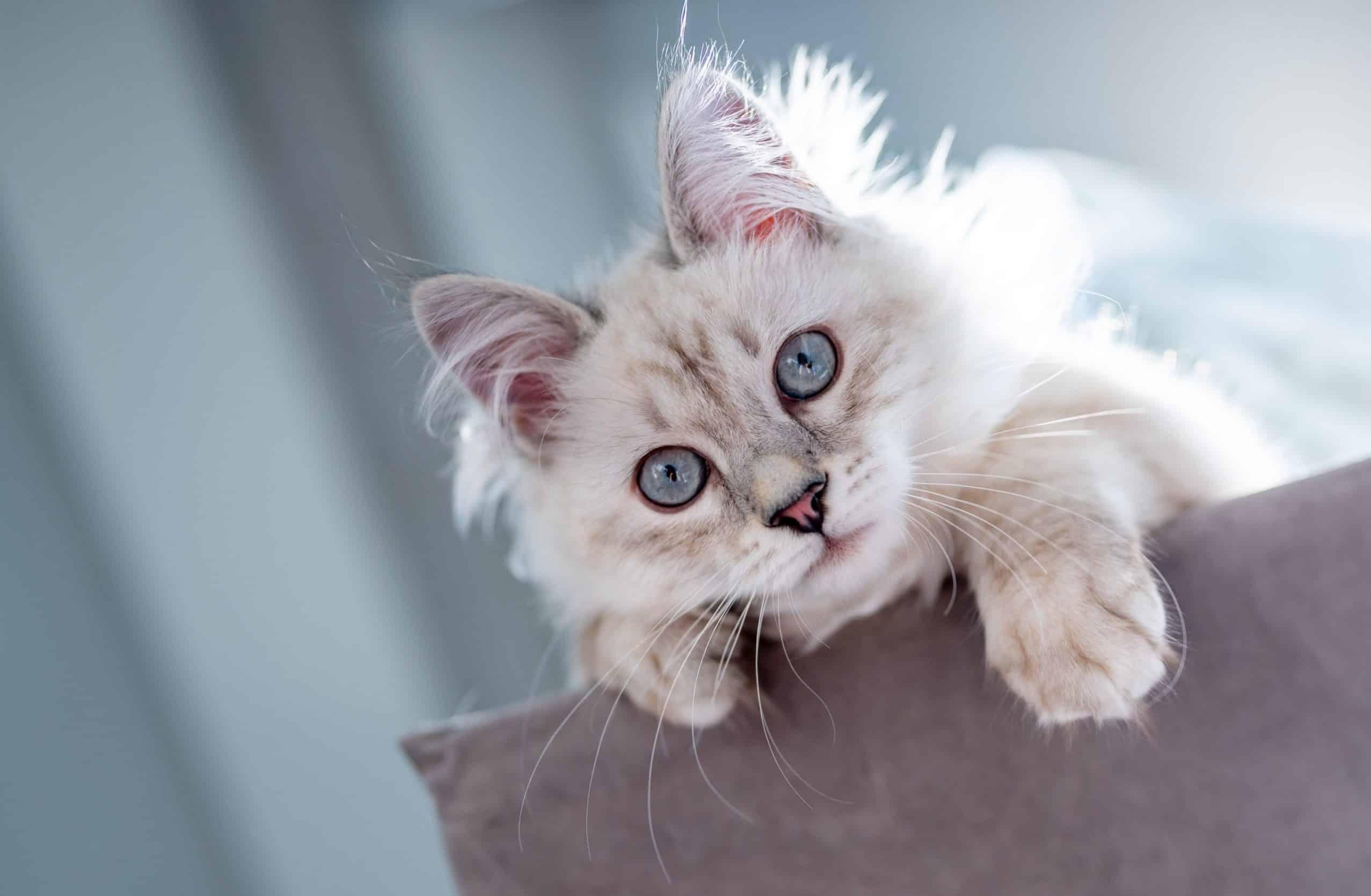 quand mon chat devient adulte ?