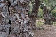 Uralte Olivenbäume direkt am Strand von Cala Tuent