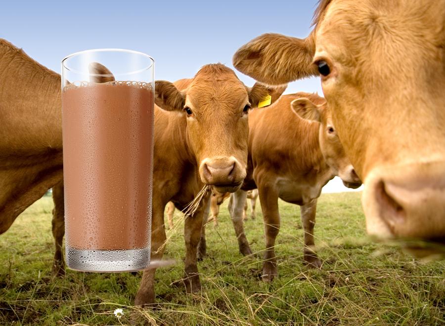 Milijuni Amerikanaca misle da smeđe krave stvaraju čokoladno mlijeko – rezultati studije