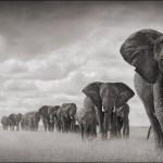 Elephants-Walkng-Through-Grass-18inW-72