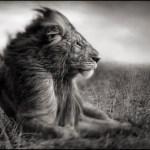 """""""Lejon sover mycket. 17 dagars väntan på ett sovande lejon, resulterade i att på den artonde dagen då det kom vindar i en annalkande storm, så fick lejonet en doft av kött i näsborrarna och satte sig käpprakt upp. Det var då jag tog den här bilden"""", berättar Nick Brandt."""
