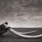 En stor hannes betar inbringar 500 000 dollar i Kina, men den sista av dessa stora elefanttjurar dödades redan 2004.