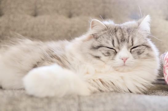 ソファーに寝そべる猫