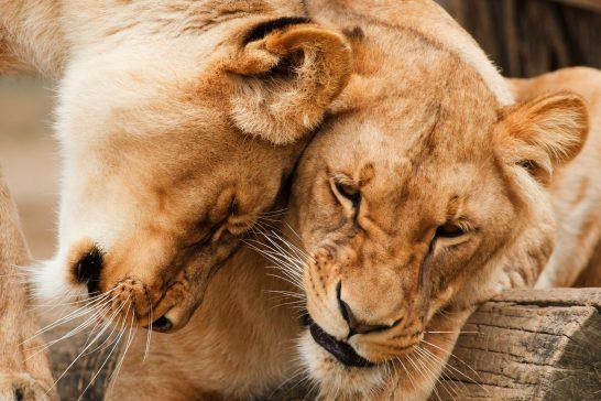 じゃれ合うライオン